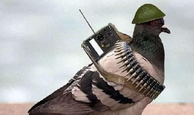 pakistani spy pigon